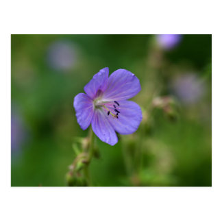 Flower of a meadow geranium postcard