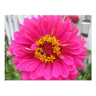 flower,pink state fair zinnia postcard