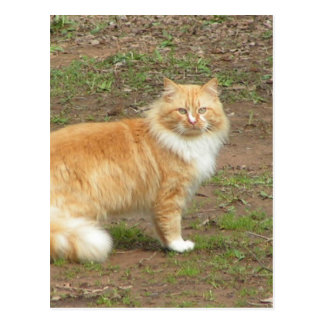 Fluffy Orange and White Kitty Postcard
