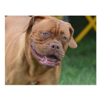 French Mastiff Dog Postcard