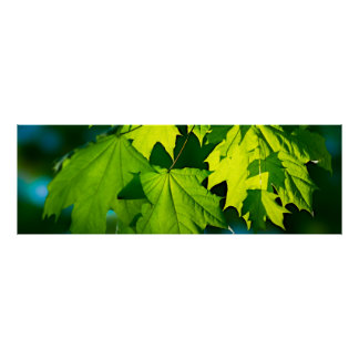 Fresh green maple leaves poster