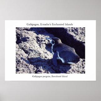 Galápagos penguin basks along the equator poster