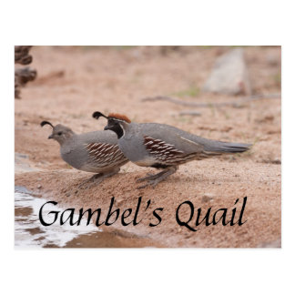 Gambel's Quail taking a drink Postcard