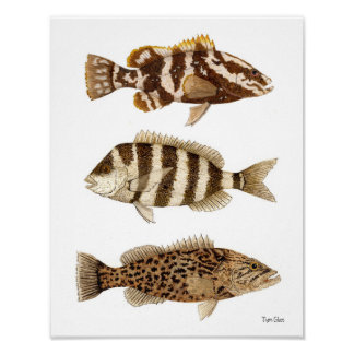 Gamefish- Nassau Grouper,Sheepshead & Gag Grouper Poster
