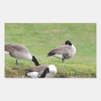 Geese at play rectangular sticker