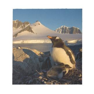 gentoo penguin, Pygoscelis Papua, parent with Notepads