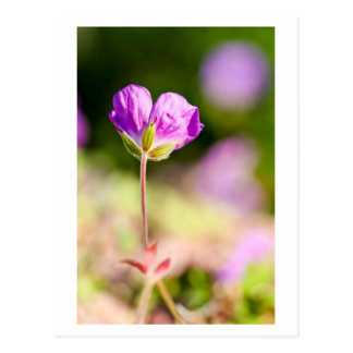 geranium and sun postcard