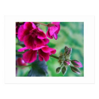 Geranium Bloom Postcard