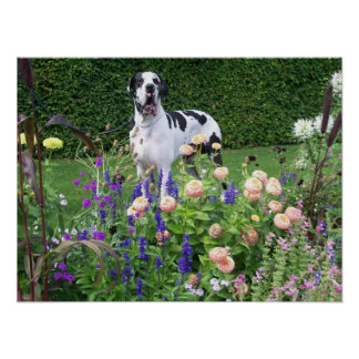German Dogge, great dane, Hunde, Dogue Allemand Poster