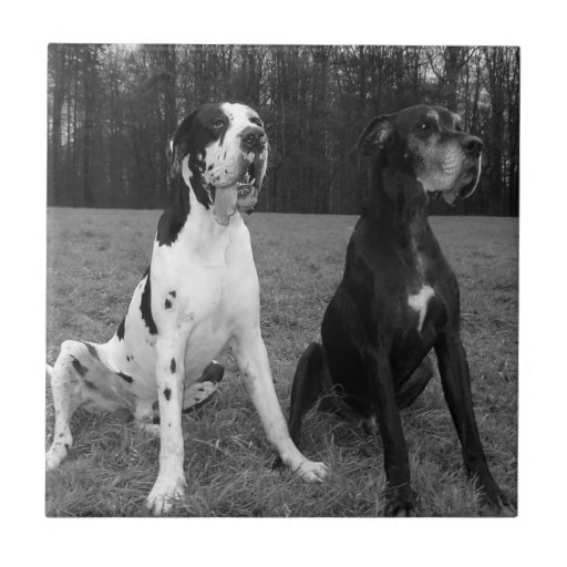 German Dogge, great dane, Hunde, Dogue Allemand Tile