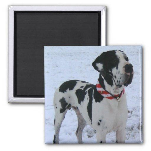 German Dogge, great dane, Hunde, Weihnachten Fridge Magnet