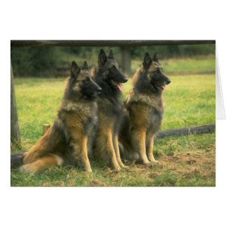 German Shepherd Dogs Card