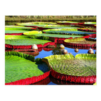 Giant Amazon Water Lily Postcard
