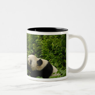 Giant panda Ailuropoda melanoleuca) Family: 8 Two-Tone Coffee Mug