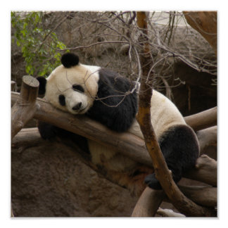 Giant Panda Bear Canvas Print