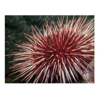 Giant Red Sea Urchin - Postcard