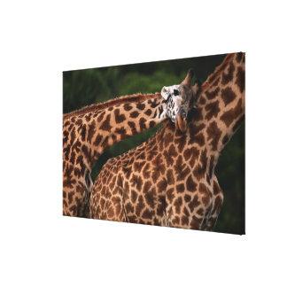 Giraffe (Giraffe camelopardalis tippleskirchi) Canvas Print
