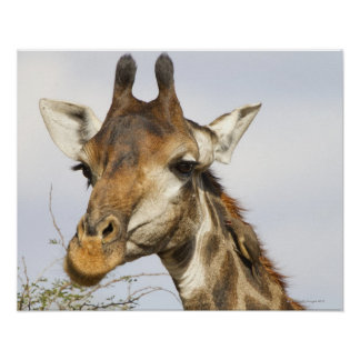 Giraffe, Kruger National Park, South Africa Poster