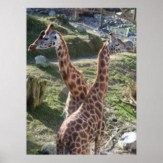 Giraffes Posters