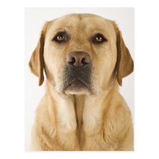 Golden Labrador Retriever (Canis familiaris). Postcard