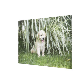 Goldendoodle puppy sitting under tall grasses canvas print