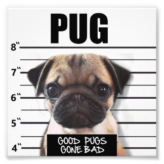 good pugs gone bad photo print