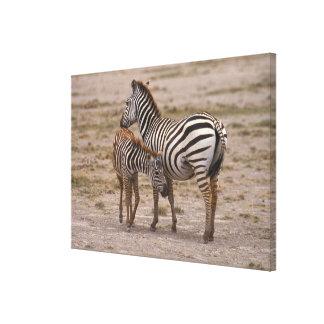 Grant Zebra 3 Canvas Print