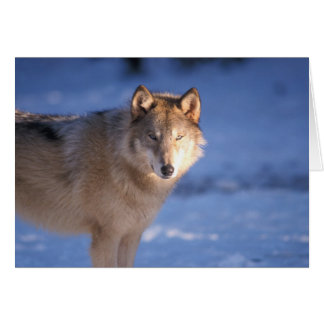 gray wolf, Canis lupus, in the foothills of Card
