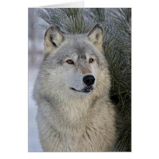 Gray Wolf Card