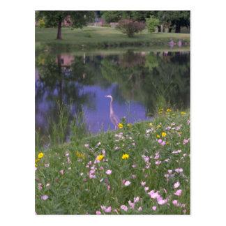 """Great Blue Heron"" Postcard"