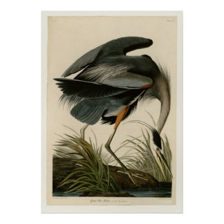 Great Blue Heron Posters