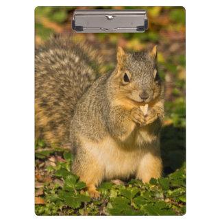 Grey Squirrel, eating, peanut, Crystal Springs 1 Clipboards
