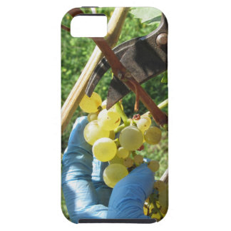 Hand cutting white grapes, harvest time case for the iPhone 5