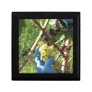 Hand cutting white grapes, harvest time gift box
