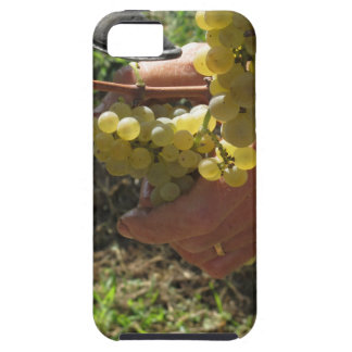 Hand cutting white grapes, harvest time iPhone 5 cases