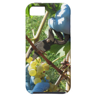Hand cutting white grapes, harvest time tough iPhone 5 case