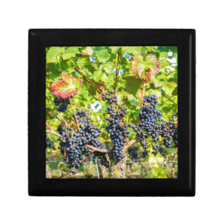 Hanging blue grape bunches in vineyard gift box