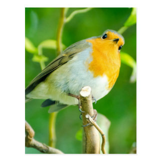 Happy Orange Robin with Funny Eyes in Leafy Tree Postcard