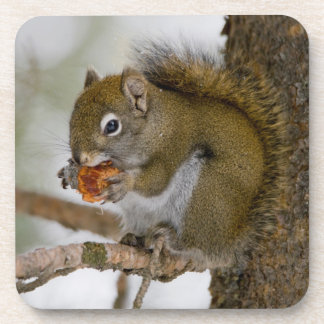 Harriman State Park, Idaho. USA. Red Squirrel Coaster