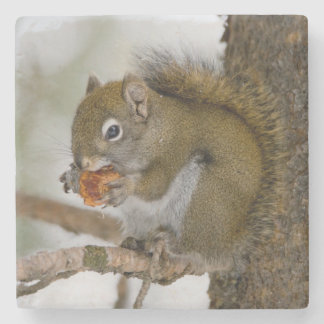 Harriman State Park, Idaho. USA. Red Squirrel Stone Coaster