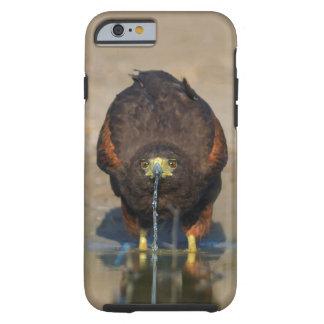 Harris Hawk Drinking Water - Birder's iPhone6 Case