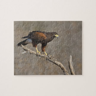 Harris's Hawk perched raptor Jigsaw Puzzle