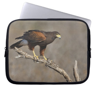 Harris's Hawk perched raptor Laptop Sleeve