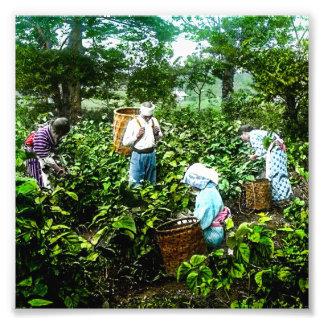 Harvesting Green Tea Leaves Old Japan Farmers Photo Print