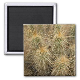 Hedgehog cactus in desert habitat fridge magnet