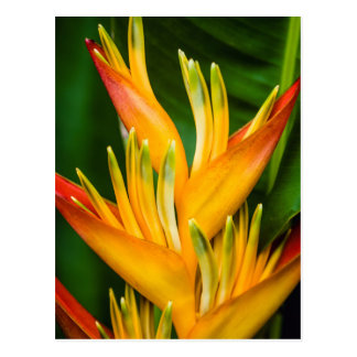 Heliconia Bird of Paradise Flower Photography Postcard