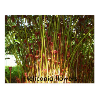 heliconia island 003,  Heliconia flowers Postcard