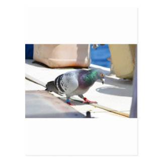 Homing Pigeon On A Yacht Postcard