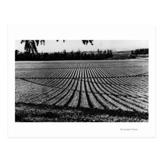 Honolulu, Hawaii - View of Pineapple Fields Postcard