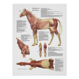 Horse Muscle Anatomy Veterinary Chart Poster